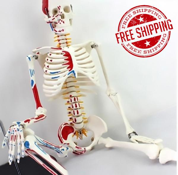 New Pvc 85cm Human Full Body Skeleton Bone Model Medical Study